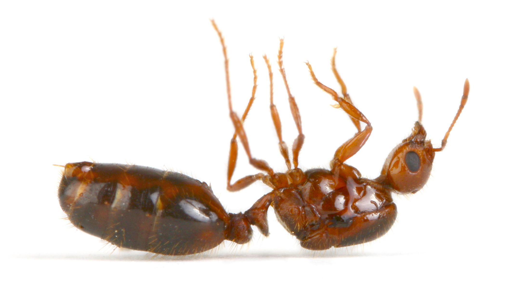 Sleeping Dead Fire Ant Queen